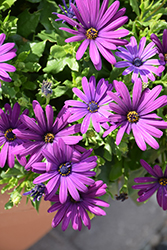 Margarita Cool Purple African Daisy (Osteospermum 'Margarita Cool Purple') at Rainbow Gardens