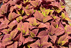 ColorBlaze® Royal Glissade® Coleus (Solenostemon scutellarioides 'Royal Glissade') at Rainbow Gardens
