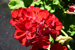 Calliope® Medium Dark Red Geranium (Pelargonium 'Calliope Medium Dark Red') at Rainbow Gardens