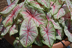 Summer Breeze Caladium (Caladium 'Summer Breeze') at Rainbow Gardens