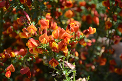 Lena Scotch Broom (Cytisus 'Lena') at Rainbow Gardens