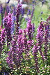 Pink Friesland Sage (Salvia nemorosa 'Pink Friesland') at Rainbow Gardens