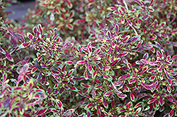 Tiny Toes Coleus (Solenostemon scutellarioides 'Tiny Toes') at Rainbow Gardens