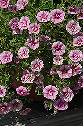 MiniFamous® Double Pink Calibrachoa (Calibrachoa 'MiniFamous Double Pink') at Rainbow Gardens
