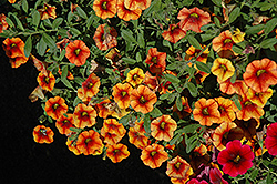 Superbells® Spicy Calibrachoa (Calibrachoa 'Superbells Spicy') at Rainbow Gardens