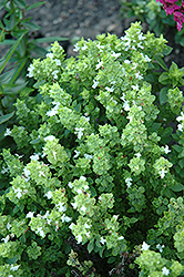 Boxwood Basil (Ocimum basilicum 'Boxwood') at Rainbow Gardens