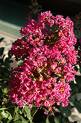 Coral Magic Crapemyrtle (Lagerstroemia 'Coral Magic') at Rainbow Gardens