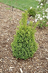 Green Mountain Boxwood (Buxus 'Green Mountain') at Rainbow Gardens