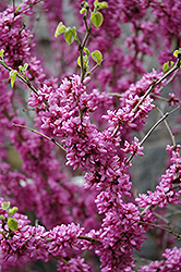 Don Egolf Miniature Redbud (Cercis chinensis 'Don Egolf') at Rainbow Gardens
