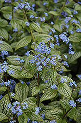 Silver Heart Bugloss (Brunnera macrophylla 'Silver Heart') at Rainbow Gardens