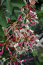 Late Dutch Honeysuckle (Lonicera periclymenum 'Serotina') at Rainbow Gardens