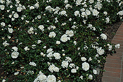 White Meidiland® Rose (Rosa 'Meicoublan') at Rainbow Gardens