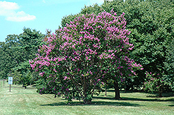 Catawba Crapemyrtle (Lagerstroemia indica 'Catawba') at Rainbow Gardens