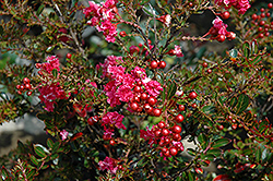 Tightwad Red Crapemyrtle (Lagerstroemia indica 'Whit V') at Rainbow Gardens