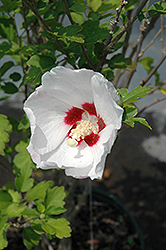 Red Heart Rose Of Sharon (Hibiscus syriacus 'Red Heart') at Rainbow Gardens