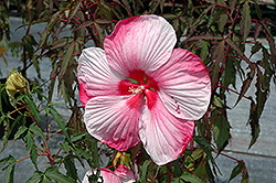 Turn Of The Century Hibiscus (Hibiscus 'Turn Of The Century') at Rainbow Gardens
