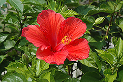 Red Hibiscus (Hibiscus rosa-sinensis 'Red') at Rainbow Gardens
