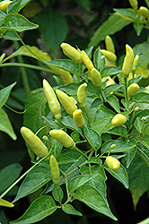 Tabasco Pepper (Capsicum frutescens 'Tabasco') at Rainbow Gardens