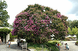 Powhatan Crapemyrtle (Lagerstroemia indica 'Powhatan') at Rainbow Gardens