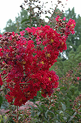 Arapaho Crapemyrtle (Lagerstroemia 'Arapaho') at Rainbow Gardens