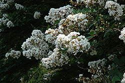 Acoma Crapemyrtle (Lagerstroemia 'Acoma') at Rainbow Gardens