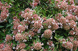 Canyon Creek Abelia (Abelia x grandiflora 'Canyon Creek') at Rainbow Gardens