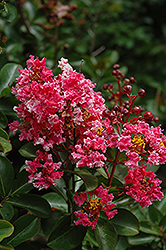 Prairie Lace Crapemyrtle (Lagerstroemia indica 'Prairie Lace') at Rainbow Gardens
