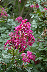 Twilight Crapemyrtle (Lagerstroemia indica 'Twilight') at Rainbow Gardens