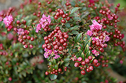 Chickasaw Crapemyrtle (Lagerstroemia 'Chickasaw') at Rainbow Gardens