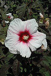 Kopper King Hibiscus (Hibiscus 'Kopper King') at Rainbow Gardens
