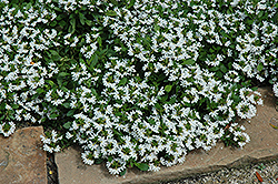 Bondi White Fan Flower (Scaevola aemula 'Bondi White') at Rainbow Gardens