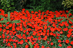 SunPatiens® Compact Electric Orange New Guinea Impatiens (Impatiens 'SunPatiens Compact Electric Orange') at Rainbow Gardens