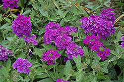 EnduraScape™ Dark Purple Verbena (Verbena 'Balendakle') at Rainbow Gardens