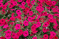 Tidal Wave Cherry Petunia (Petunia 'Tidal Wave Cherry') at Rainbow Gardens