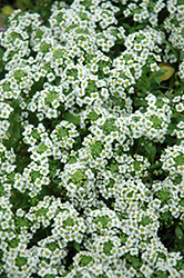 Clear Crystal White Sweet Alyssum (Lobularia maritima 'Clear Crystal White') at Rainbow Gardens