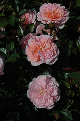 Apricot Drift® Rose (Rosa 'Meimirrote') at Rainbow Gardens