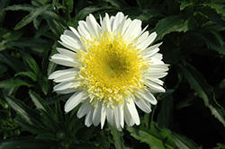 Real Dream Shasta Daisy (Leucanthemum x superbum 'Real Dream') at Rainbow Gardens