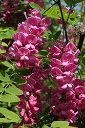 Purple Robe Locust (Robinia pseudoacacia 'Purple Robe') at Rainbow Gardens