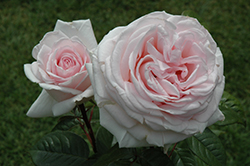 Francis Meilland Rose (Rosa 'Meitroni') at Rainbow Gardens