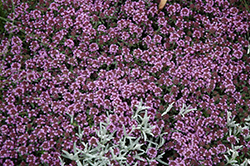 Pink Chintz Creeping Thyme (Thymus praecox 'Pink Chintz') at Rainbow Gardens