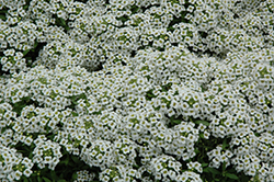Snow Crystals Alyssum (Lobularia maritima 'Snow Crystals') at Rainbow Gardens