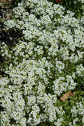 Snow Princess Alyssum (Lobularia 'Snow Princess') at Rainbow Gardens