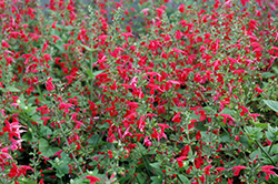 Summer Jewel Red Sage (Salvia 'Summer Jewel Red') at Rainbow Gardens