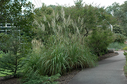 Pampass Grass (Erianthus ravennae) at Rainbow Gardens