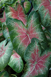 Rose Glow Caladium (Caladium 'Rose Glow') at Rainbow Gardens