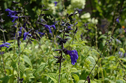 Black And Blue Anise Sage (Salvia guaranitica 'Black And Blue') at Rainbow Gardens