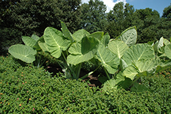 Giant Elephant Ear (Colocasia gigantea) at Rainbow Gardens