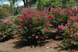Baton Rouge Crapemyrtle (Lagerstroemia indica 'Baton Rouge') at Rainbow Gardens