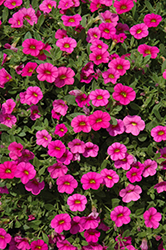 Kabloom™ Deep Pink Calibrachoa (Calibrachoa 'Kabloom Deep Pink') at Rainbow Gardens
