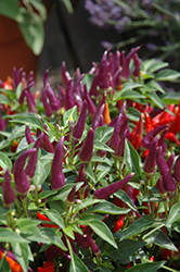 Sangria Ornamental Pepper (Capsicum annuum 'Sangria') at Rainbow Gardens